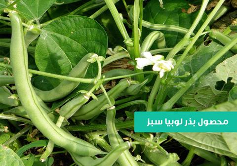 خرید بذر لوبیا سبز , قیمت بذر لوبیا سبز , بذر لوبیا سبز پر محصول , نحوه کاشت بذر لوبیا سبز , زمان کاشت بذر لوبیا سبر