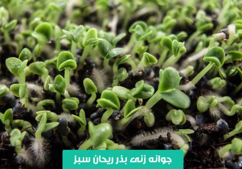 خرید بذر ریحان , بذر ریحان سبز , نحوه کاشت ریحان , بهترین بذر ریحان , نیاز نوری ریحان , آبیاری ریحان , ریحان سبز