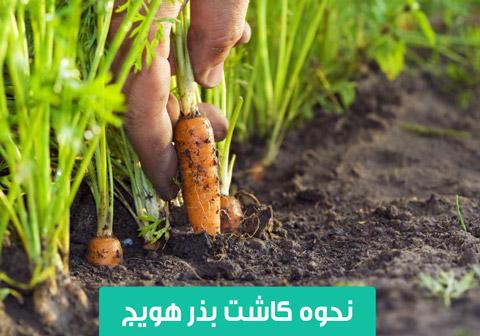 خرید بذر هویج , قیمت بذر هویج , نحوه کاشت بذر هویج , بذر هویج کریستو , بذر هویج کلوز , بذر هویج سیمنس , بذر هویج اس جی