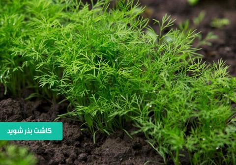 بذر شوید , خرید بذر شوید , بهترین بذر شوید , نحوه کاشت شوید , نیاز آبی شوید , دمای کاشت شوید , زمان برداشت شوید