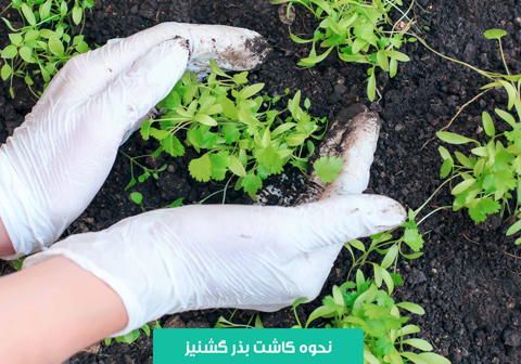 بذر گشنیز , خرید بذر گشنیز , بهترین بذر گشنیز , جوانه زنی گشنیز , آبیاری گشنیز , نحوه کاشت بذر گشنیز , نحوه کاشت گشنیز