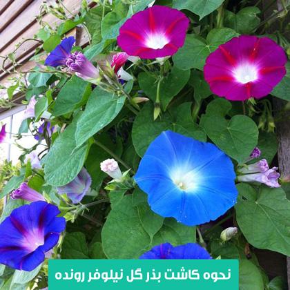 خرید بذر گل نیلوفر , بذر گل نیلوفر رونده , آبیاری گل نیلوفر , نیاز نوری گل نیلوفر