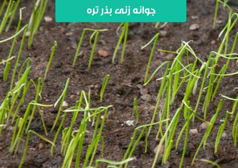 بذر تره , خرید بذر تره , کاشت بذر تره در گلدان , روش برداشت تره , قیمت بذر تره , آبیاری تره , روش چیدن تره , مدت زمان جوانه زنی تره