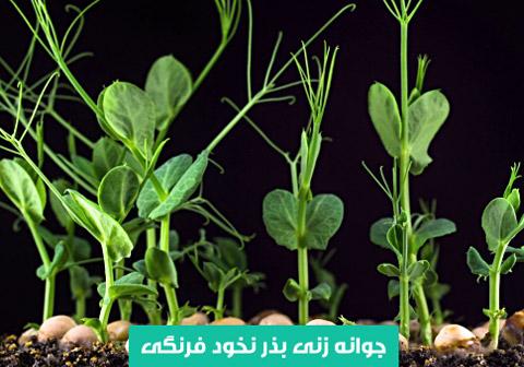 خرید بذر نخود فرنگی , آبیاری بذر نخود فرنگی , بهترین بذر نخود فرنگی , جوانه زنی نخود فرنگی , نیاز نوری نخود فرنگی , نحوه کاشت نخود فرنگی