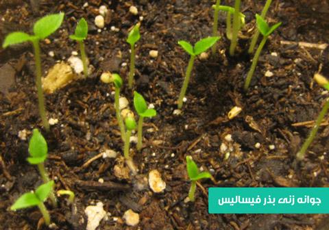 خرید بذر فیسالیس , بهترین بذر فیسالیس , نحوه کاشت فیسالیس , نحوه کاشت بذر فیسالیس , خرید بذر فیسالیس زرد , قیمت بذر فیسالیس