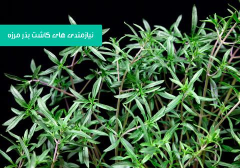 خرید بذر مرزه , بهترین بذر مرزه , مدت زمان جوانه زدن مرزه , کاشت داشت برداشت مرزه , روش کاشت مرزه , کاشت مرزه در گلدان , فصل کاشت مرزه