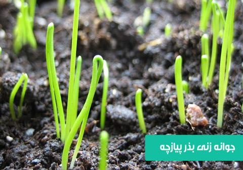 خرید بذر پیازچه , نحوه کاشت پیازچه در گلدان , نحوه کاشت پیازچه در باغچه , نحوه آبیاری پیازچه , بذر پیازچه , دمای مناسب کاشت پیازچه , نیاز نوری پیازچه