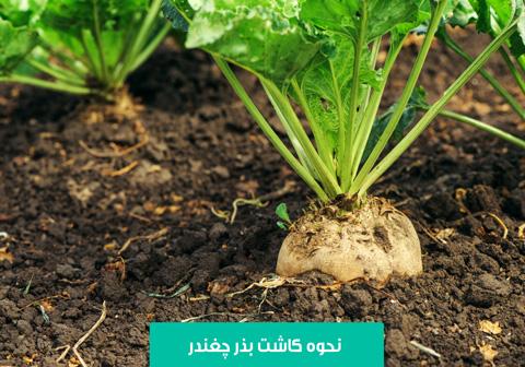 خرید بذر چغندر , بهترین بذر چغندر , نحوه کاشت چغندر , میزان آبیاری چغندر , خاک مناسب کاشت چغندر