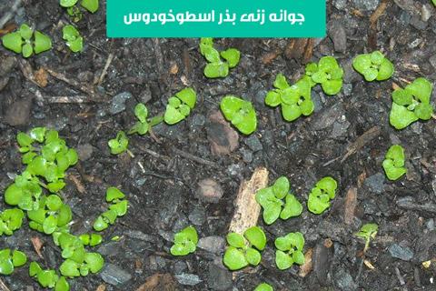 خرید بذر اسطوخودوس , کاشت بذر اسطوخودوس در گلدان , خرید اینترنتی بذر اسطوخودوس , نحوه کاشت بذر اسطوخودوس , نگهداري اسطوخودوس در منزل , قیمت بذر اسطوخودوس