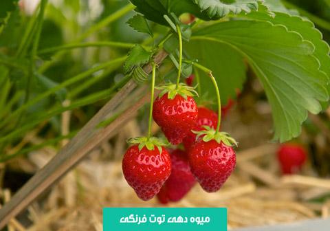 خرید بذر توت فرنگی , بهترین بذر توت فرنگی , نحوه کاشت توت فرنگی , آبیاری توت فرنگی , نیاز نوری توت فرنگی