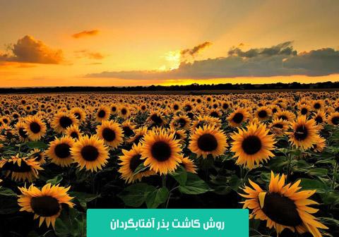 خرید بذر آفتابگردان , قیمت بذر آفتابگردان , انواع بذر آفتابگردان , کاشت بذر آفتابگردان در گلدان , کاشت آفتابگردان در باغچه , زمان برداشت آفتابگردان