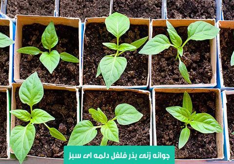 خرید بذر فلفل دلمه ای سبز , نحوه کاشت فلفل دلمه ای سبز , بهترین بذر فلفل دلمه ای سبز , بذر فلفل دلمه ای سبز گلخانه ای , آبیاری فلفل دلمه ای سبز