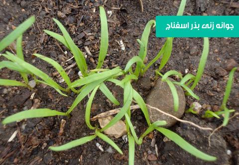 بذر اسفناج , خرید بذر اسفناج , فروش بذر اسفناج , بهترین بذر اسفناج , روش کاشت بذر اسفناج , نحوه کاشت بذر اسفناج در گلدان , قیمت بذر اسفناج
