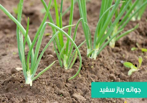 خرید بذر پیاز سفید , بهترین بذر پیاز سفید , بذر پیاز