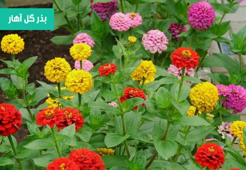 خرید بذر گل آهار , بهترین بذر گل آهار