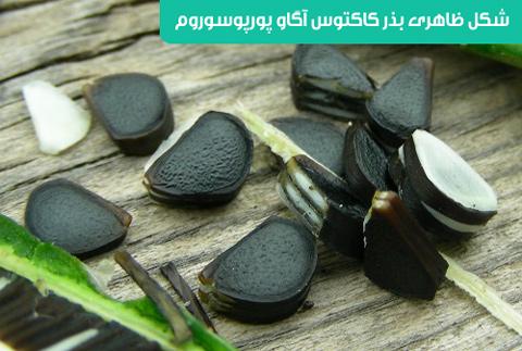 خرید بذر کاکتوس آگاو پورپوسوروم , قیمت بذر کاکتوس آگاو پورپوسوروم , کاکتوس آگاو پورپوسوروم