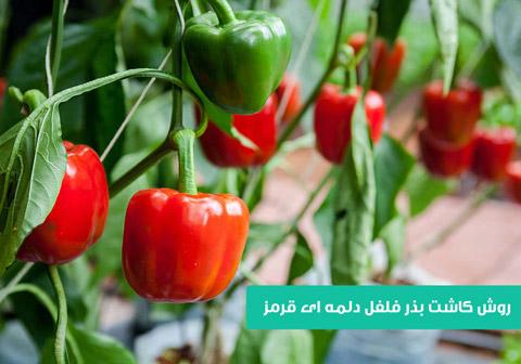 خرید بذر فلفل دلمه ای قرمز , بذر فلفل دلمه ای , روش کاشت بذر فلفل دلمه ای قرمز , فلفل دلمه ای قرمز