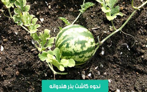 خرید بذر هندوانه