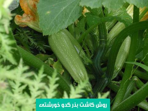 خرید بذر کدو خورشتی