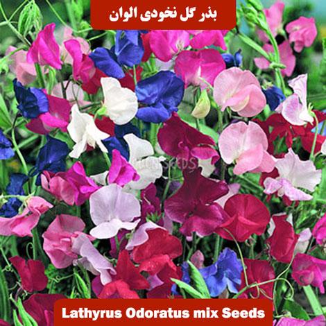 بذر گل نخودی پامتوسط الوان