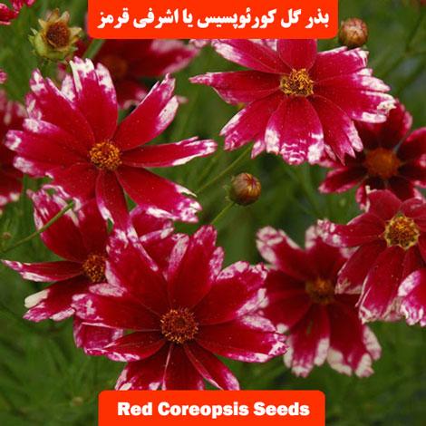 بذر گل کورئوپسیس یا اشرفی پامتوسط قرمز