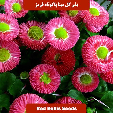 بذر گل مینا پاکوتاه قرمز