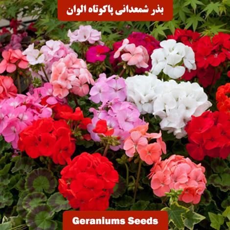 بذر گل شمعدانی پاکوتاه الوان