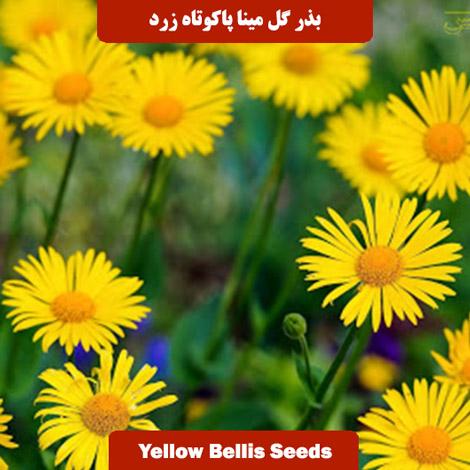 بذر گل مینا پاکوتاه زرد