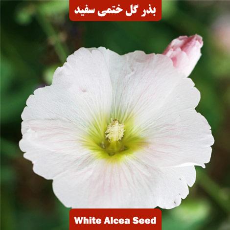 بذر گل ختمی سفید