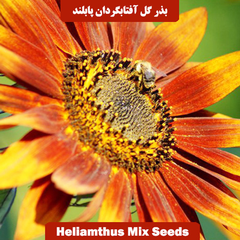 بذر گل آفتابگردان پابلند الوان
