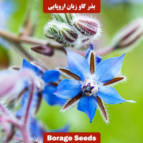 بذر گل گاو زبان اروپایی