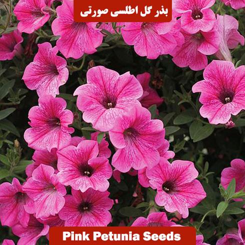 بذر گل اطلسی صورتی
