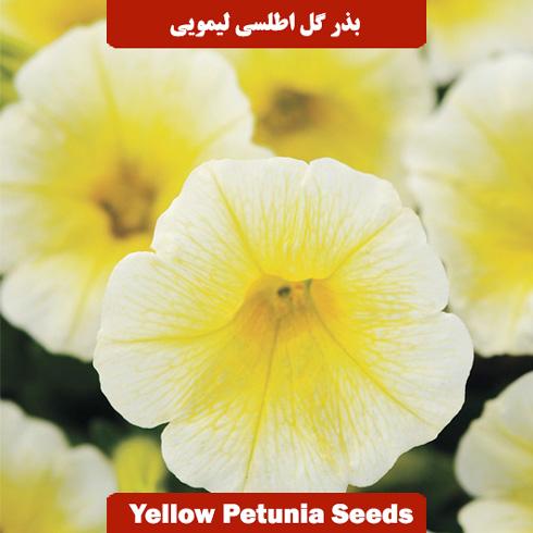 بذر گل اطلسی لیمویی