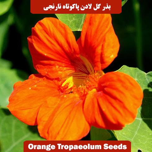 بذر گل لادن پاکوتاه نارنجی
