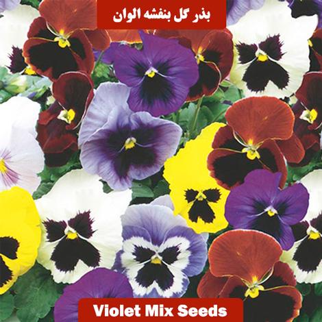 بذر گل بنفشه الوان