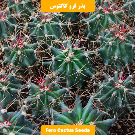 بذر کاکتوس فرو گلاسنس