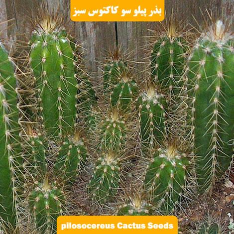 بذر کاکتوس پیلوسرئوس