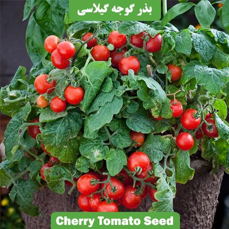 بذر گوجه چری یا گوجه گیلاسی