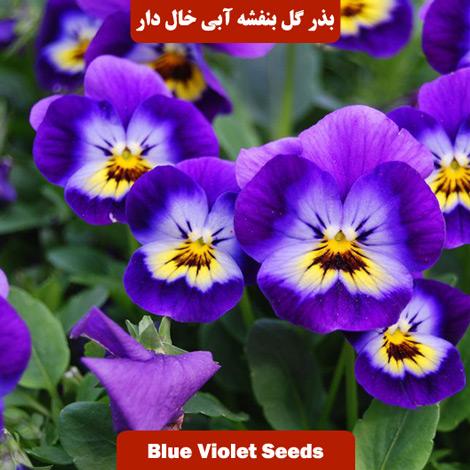 بذر گل بنفشه آبی خال دار