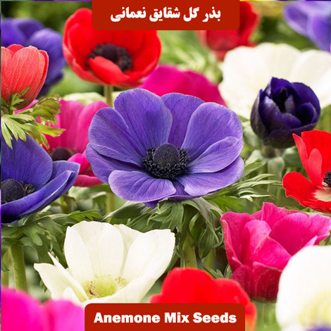 بذر گل شقایق نعمانی پامتوسط الوان