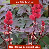 بذر گل کرچک پابلند قرمز