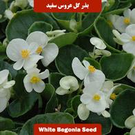 بذر گل عروس سفید