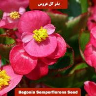 بذر گل عروس