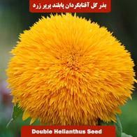 بذر گل آفتابگردان پابلند پرپر زرد