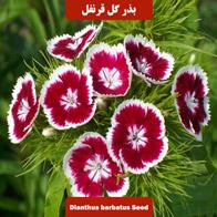بذر گل قرنفل