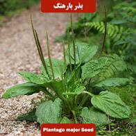 بذر بارهنگ