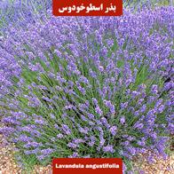 بذر اسطوخودوس