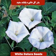 بذر گل داتوره پابلند سفید