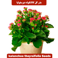 بذر گل کالانکوئه دیرسفولیا یا گل قاشقی