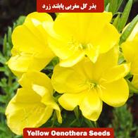 بذر گل مغربی پابلند زرد